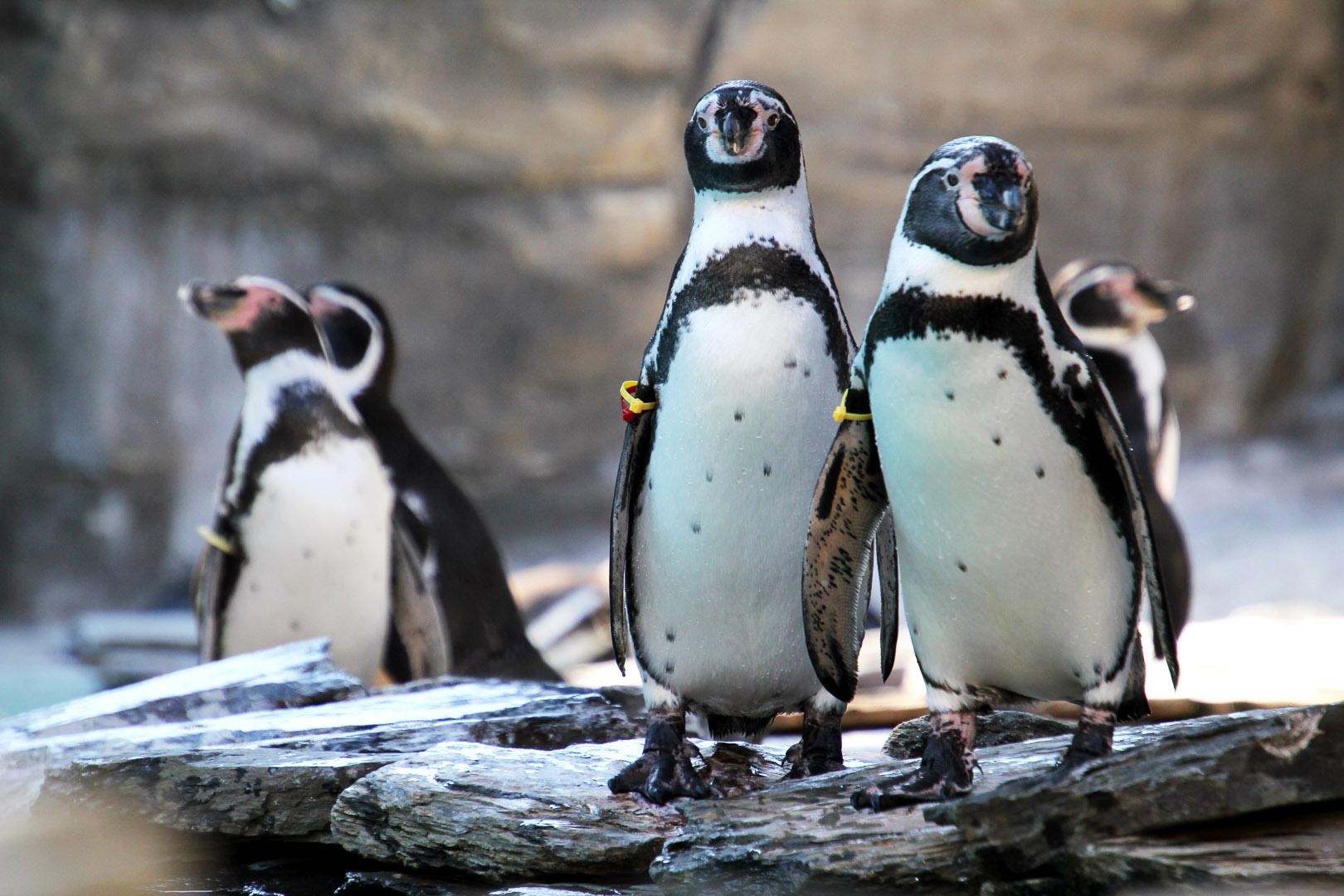 Obiekt Poznajmy się bliżej - pingwiny